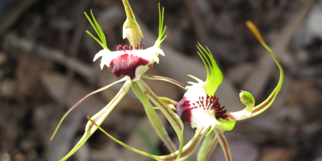 King Spider Orchid