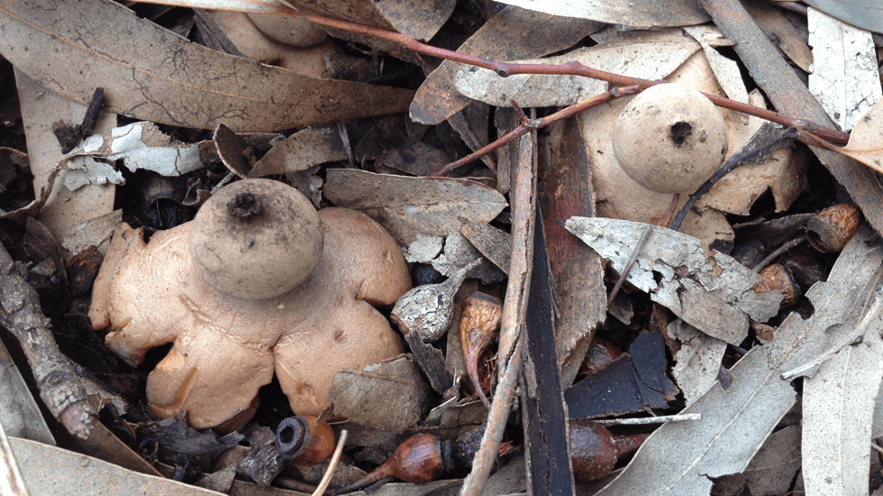 2 Earth Star fungi (Geastrum spp) rising out of the leaf litter in the Willow Bend carpark 'island' at Vale Park on 29.7.15.